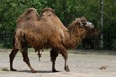 Bactrian camel (Camelus bactrianus) and black-tailed prairie dog (Cynomys ludovicianus).