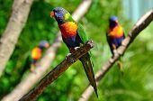 stock photo of lorikeets  - Three native Australian Rainbow Lorikeet sit on a tree - JPG