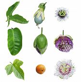 Passiflora Passion Collection
