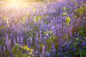 foto of salvia  - blue salvia on evening fair lighting from the sun - JPG