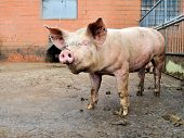 Pig In A Pigpen