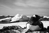 black and white penguin in Antarctica