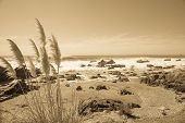 Coastal image, rocky foreshore and pampas grass in sepia.