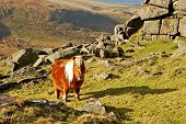 Wild Dartmoor Pony