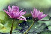 Pink Lotus In Raining