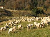 Immense Flock Of Sheep Lambs And Goats Grazing