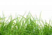 Fresh blades of grass