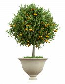 Classic Vase With Small Orange Tree  - 3D Rendering