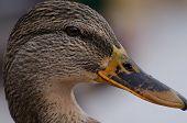 Female duck close up