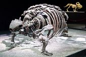 Dinosaur Skeleton - Talarurus