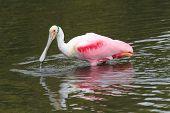 Roseate Spoonbill Hunting In Water