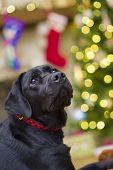 Labrador Retriever In Front Of A Christmas Tree
