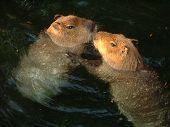 Capybaras In Love