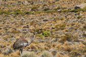Rhea on the Altiplano