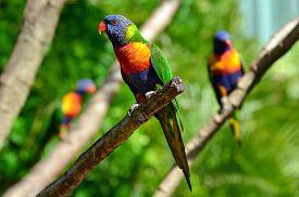 picture of lorikeets  - Three native Australian Rainbow Lorikeet sit on a tree - JPG