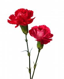 image of carnation  - Two carnations  isolated on white background - JPG