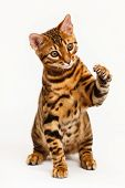 picture of paw  - Bengal Cat playing and pawing on white background - JPG