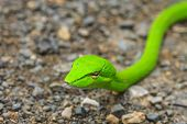 stock photo of tree snake  - Oriental Whipsnake or Asian Vine Snake  - JPG