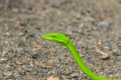 pic of tree snake  - Oriental Whipsnake or Asian Vine Snake  - JPG