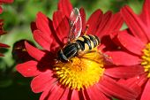 pic of honey-bee  - this is a close up of a bee gathering pollen in early fall season - JPG