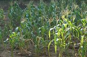 foto of sweet-corn  - sweet corn flower in the corn field - JPG