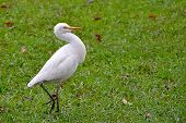 stock photo of grass bird  - one white bird walking on grass photo - JPG