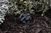 pic of obsidian  - Colorful and crisp image of snowflake obsidian on forest floor - JPG