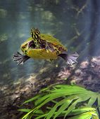 foto of cooter  - A curious Peninsula Cooter turtle swims toward the photogapher and then swims away once its curiousity is satisfied - JPG