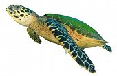 foto of hawksbill turtle  - Hawksbill Sea Turtle isolated on white background - JPG