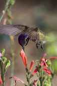 stock photo of feeding  - black chinned hummingbird  - JPG