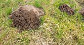 stock photo of mole  - Big mole hill in the garden lawn in spring - JPG