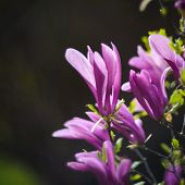 pic of magnolia  - Close up of Blooming Magnolia - JPG