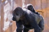 pic of gorilla  - new baby gorilla at the zoo holding on to his moms back as she walks - JPG