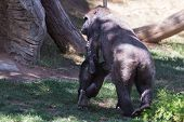 image of gorilla  - new baby gorilla holding on to his mothers arm as she walks on the grass - JPG