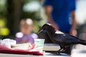 picture of unnatural  - large black crow feeding on fast food leftovers at a table - JPG