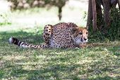 stock photo of cheetah  - young cheetah in the afternoon on green grass in a zoo in California - JPG
