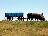 stock photo of yoke  - team of oxen pulling an antique wagon at an old west reenactment - JPG