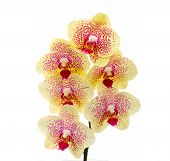 picture of yellow orchid  - Close up of a yellow orchid  - JPG