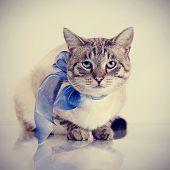 foto of domestic cat  - Striped domestic blue - JPG