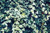 stock photo of ivy  - The green saturated ivy leaves as background - JPG