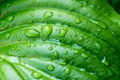 pic of monocots  - Detail of a green Hosta leaf with rain drops after the storm - JPG