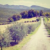 foto of farmhouse  - Olive Alley Leading to the Farmhouse in Tuscany Retro Effect - JPG