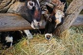 picture of manger  - few sheep on the farm eat the hay from the manger  - JPG