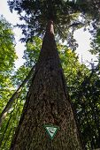 stock photo of sequoia-trees  - Giant tree from the perspective of the bottom - JPG