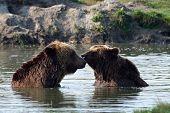 Bears In The Lake
