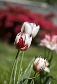 stock photo of azalea  - some tulips speckled with red - JPG