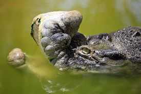 pic of crocodile  - 20 years Bujang Kawi crocodile on a crocodile farm on island Lankgavi - JPG