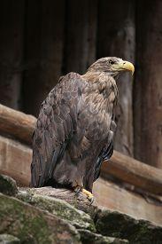 foto of eagles  - White - JPG