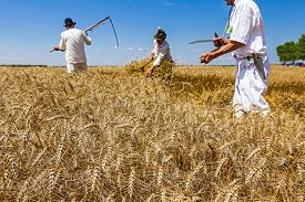 image of scythe  - Team is reaping wheat manually with a scythe in the traditional rural way - JPG