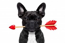 stock photo of cupid  - valentines french bulldog dog in love holding a cupids arrow with mouth isolated on white background - JPG